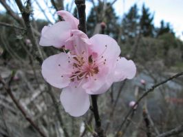 Flower Stock - Peach Blossoms 1 by Spyderwitch