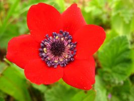 Anemone coronaria by Pimpernel