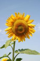Sunflower by archaeopteryx-stocks