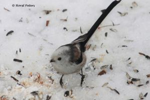 Schwanzmeise / Long Tailed Tit 3 by bluesgrass