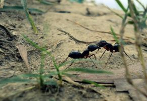 Ant War by noohamaula