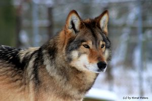 Timber Wolf / Timberwolf 4 by bluesgrass