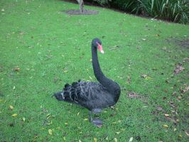 Black Swan by Camalla