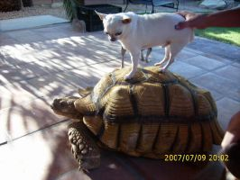 Pablo on my tortoise Murry by thoroughbredlover77