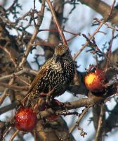 Starling and Apples 3209 by CitizenOlek