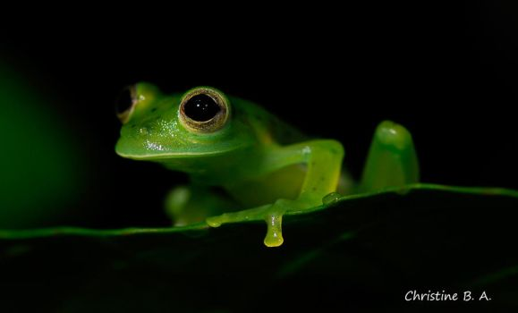 Glassfrog by TheCtino
