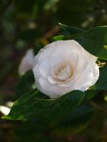 Ice Pink Camellia Stock 06 by botanystock