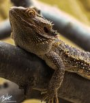Bearded Dragon (HDR) by B-O-K-E