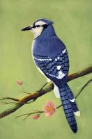 Blue jay by Lillas40