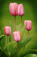 Pink Tulip Cluster by houstonryan