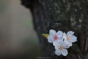 Cherry are in full blossom6 by ganessa