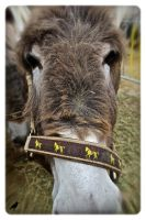 Adorable Donkey for sale. by jennystokes