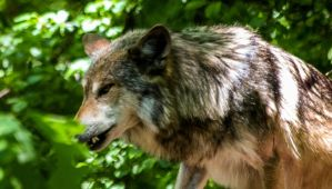 Mexican Wolf Stock 39: Snarl by HOTNStock