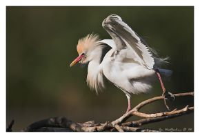 Breeding Egret by MrStickman