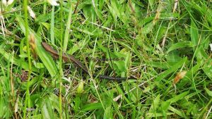 common lizard photo 3 by frogslave69