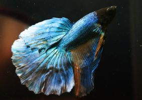 Mustard Gas Metallic SD Betta male by HappyBettas