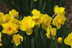 Red Butte - Daffodils by LycanDID