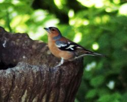 Chaffinch by Taking-St0ck
