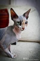 Sphynx cat by 0Karydwen0