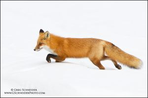 Red Fox stalking prey by gregster09