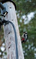 Great spotted woodpecker by perost