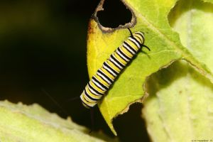 First Monarch Caterpillar of 2015 by natureguy