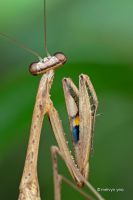 Praying Mantis by melvynyeo