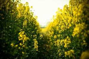 Rapeseed Landscape by SuiteDesign