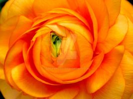 Ranunculus 3 by GreenMusic