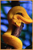 An Eyelash Viper by TheJavaGecko