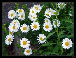 Marguerites - 1 by J-Y-M