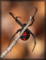 Black Widow 40D003091 by Cristian-M