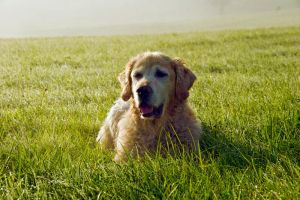 Golden Retriever 7 by archaeopteryx-stocks