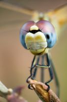 dragonfly 3 by scott-leeson