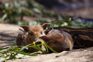 Red River Hog Piglets by Pale-Recluse