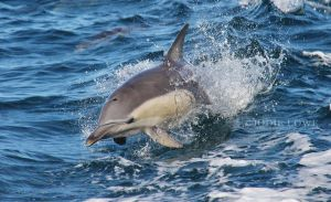 Common dolphin surfing the wake by Oracle88