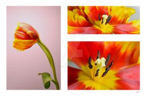 Tulip Compilation - ACM by FROG-and-TOAD