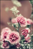 Dianthus by AniekPhotography