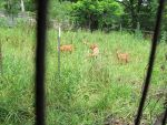 Fenced In Fawns 1b by Windthin