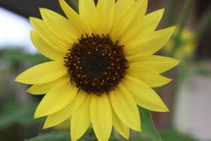 Sunflower 2 by Thepieholephotograph