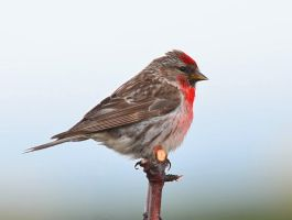 Arctic Redpoll XI by nordfold