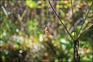 spider on the web by weryvall