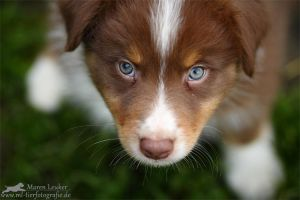 Australian Shepherd Puppy by Maaira
