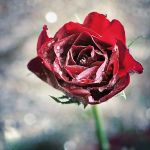 Rose Of Ice by MarcoHeisler