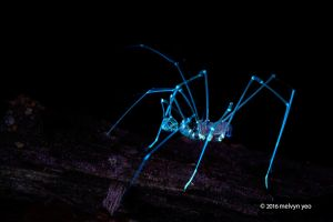 Harvestman (Epedanidae) UV by melvynyeo