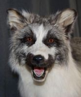 Arctic Marble Fox face detail by Phoenix-Cry