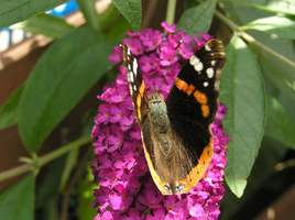 Butterfly 22-07-2015 -9 by 69raywwf