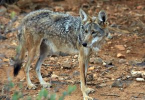 Coyote by mammothhunter