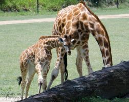 Mother and Calf 03 by Indefinitefotography