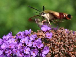 Snowberry Clearwing Moth by LadyLyonnesse